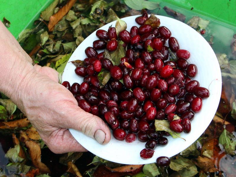 Dirndl Ernte rote Frucht Kornelkirsche