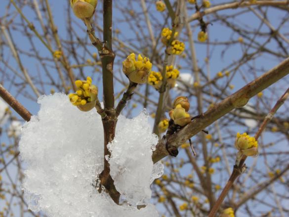 Dirndblüte Mit Schnee2