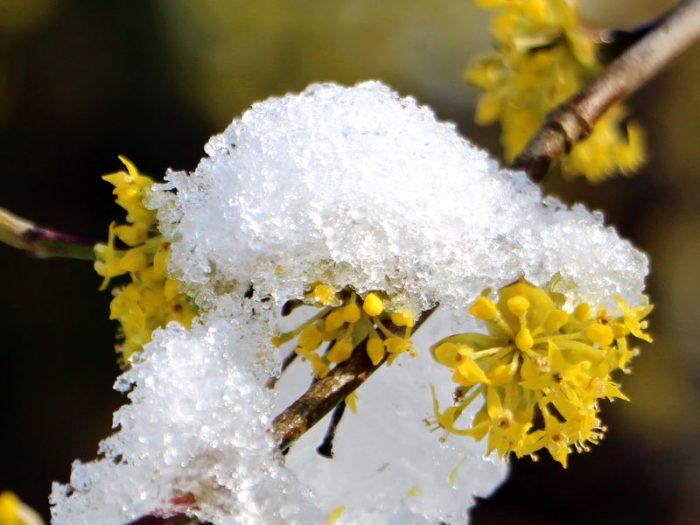 dirndblüte gelb mit schnee