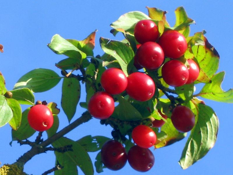 dirndl rote frucht