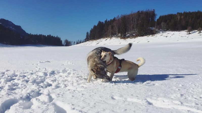 Hunde im Schnee Mamauwiese