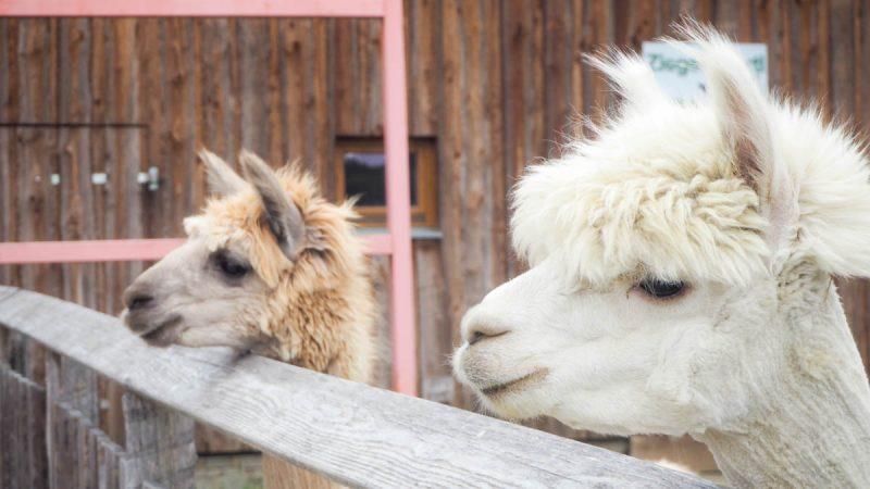 Alpakas Kittenberger Erlebnisgärten