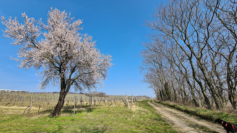 Blüte Frühling Jois