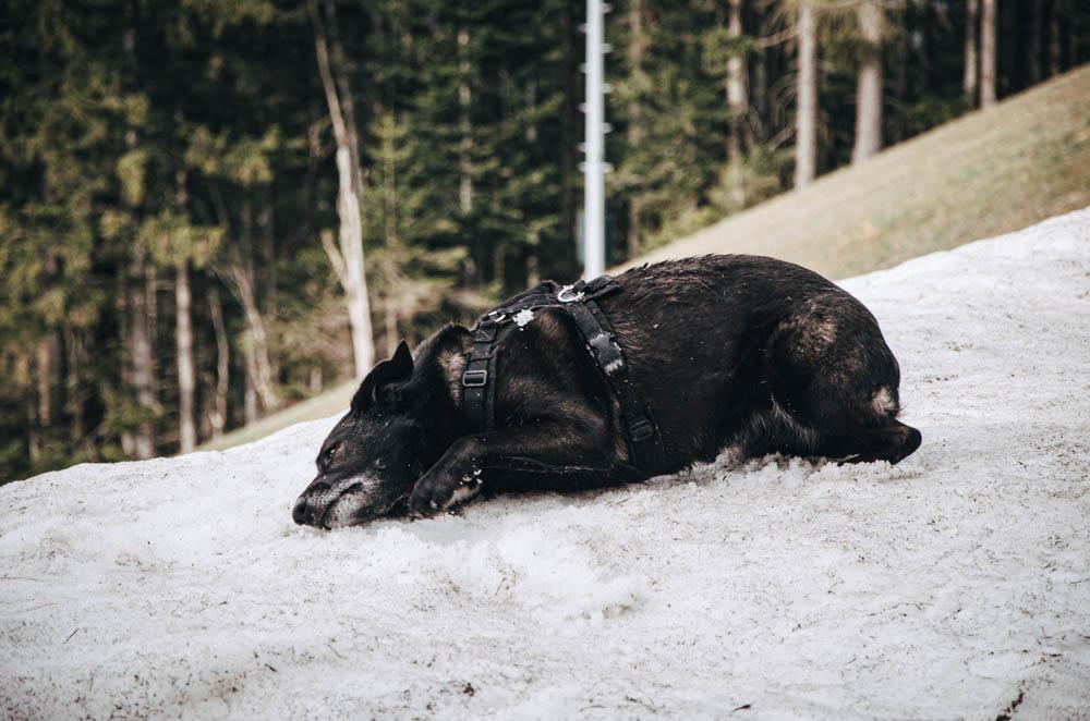 Hund beim Schnee Wälzen Semmering