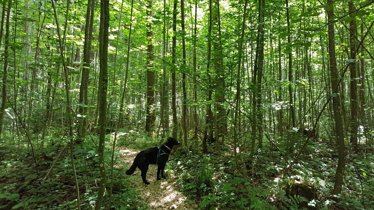 Hund im Hallerwald