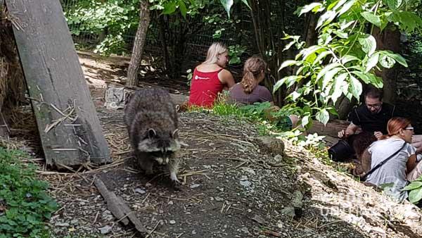Die Waschbären im Tierpark Buchenberg