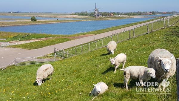 Texelschafe Holland