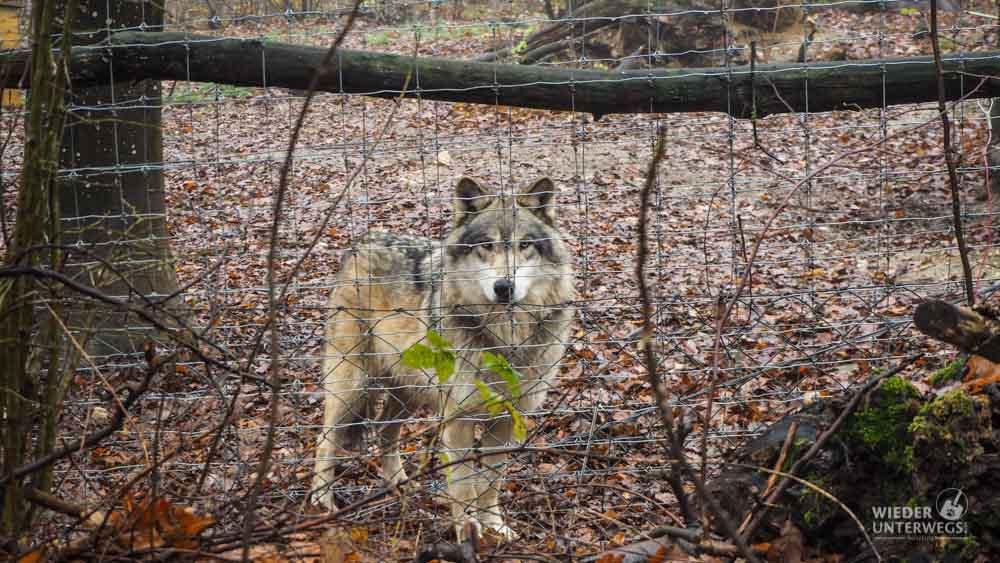 Wolf Im Tierpark Ernstbrunn