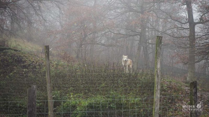 Tierpark Ernstbrunn weißer Wolf
