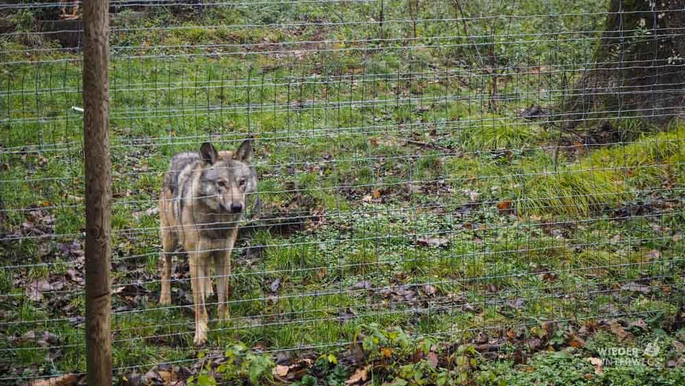 Wolf Tierpark Ernstbrunn