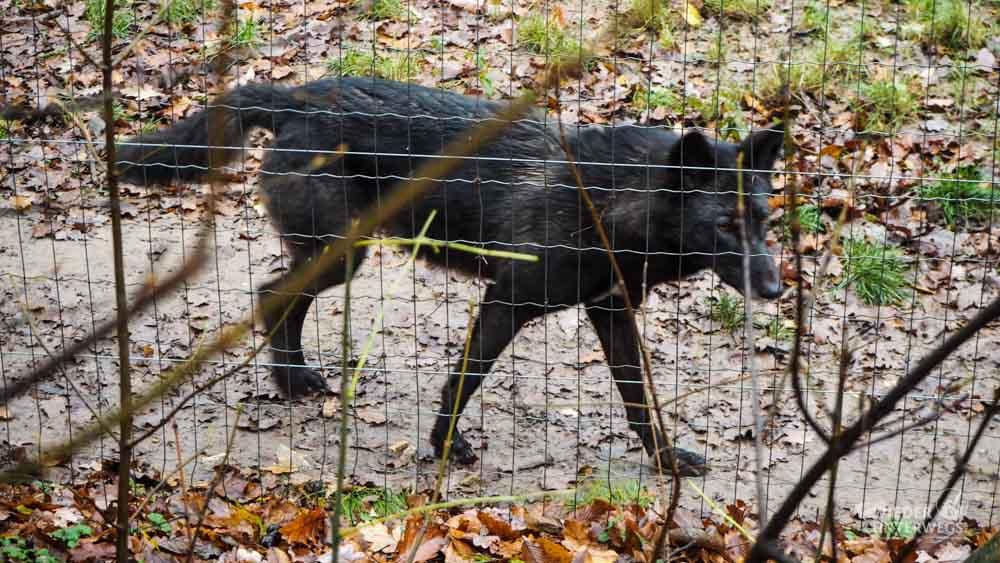 Wolf Wildpark Ernstbrunn