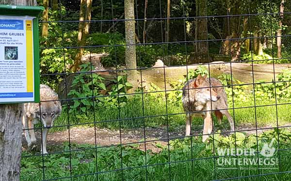 Tierpark Haag Wölfe